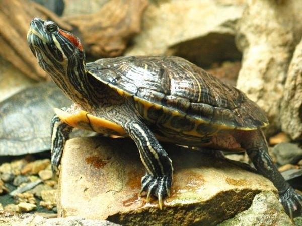 Водяные черепахи: уход и кормление